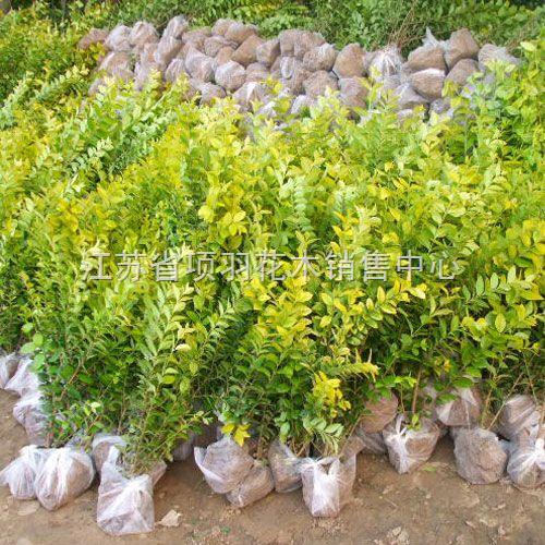 供应紫穗槐,嫁接桑树苗,红叶石楠,红叶小檗